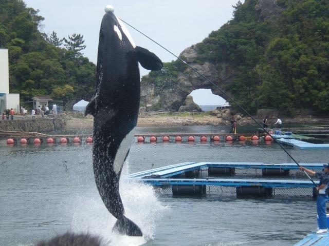 シャチの大ジャンプ