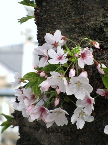 桜 20110410